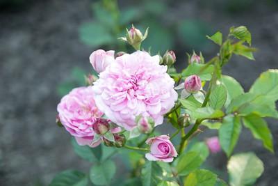 Rabata różana