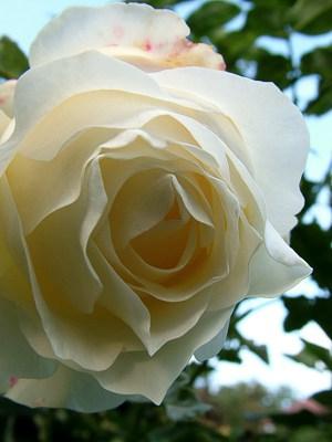 Róża Chopin – moja ulubiona