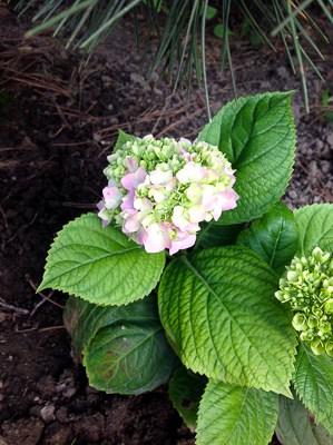 Rozmnażanie hortensji ogrodowych