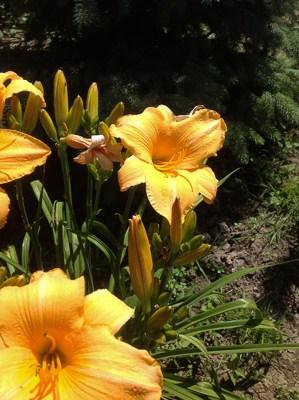 Liliowiec (homerocallis)- kwiat jednego dnia