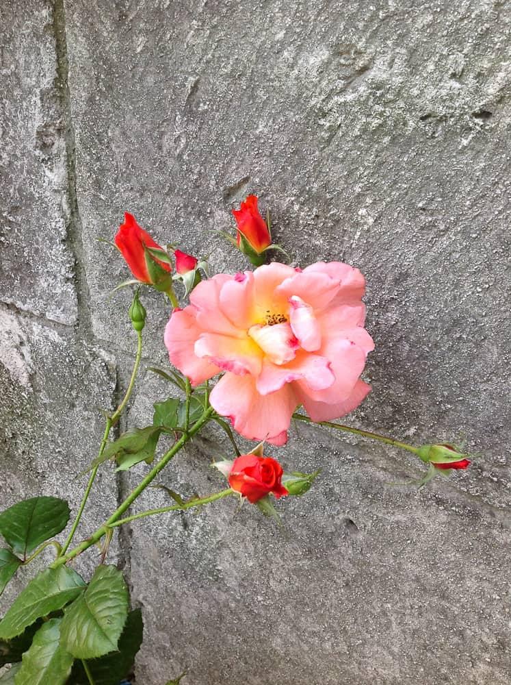 Róża Westerland – rozpoznana nieznajoma