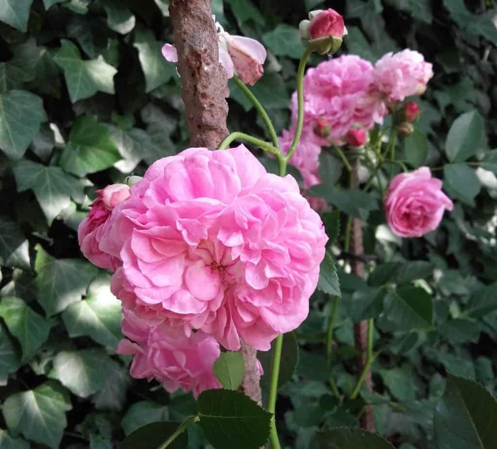 """Róża niespodzianka – """"Lavender Lassie"""""""