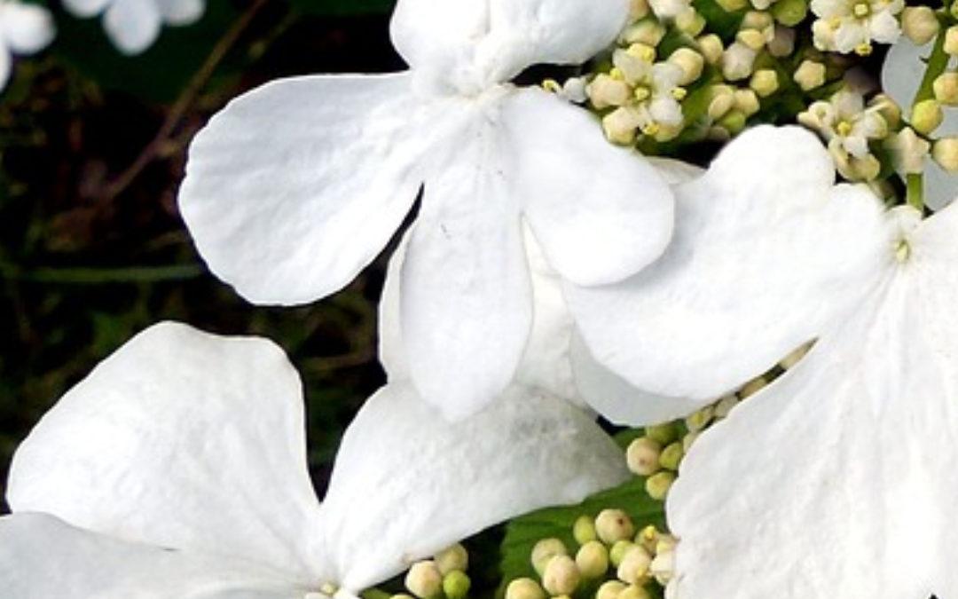 Wiosenne cięcie hortensji bukietowych
