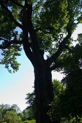 Dąb czerwony (Quercus rubra)