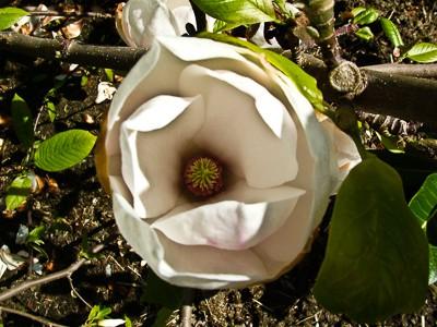 Ratowanie magnolii