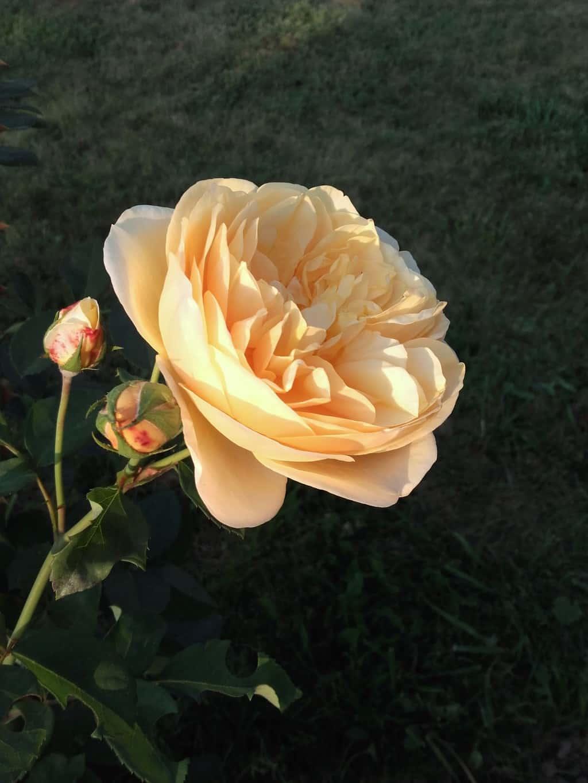 Różanka w pełnym rozkwicie – cz. 1