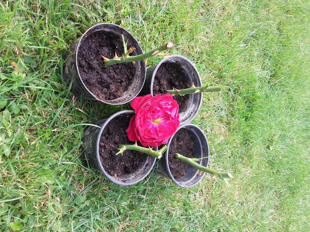 Rozmnażanie róż – po raz kolejny