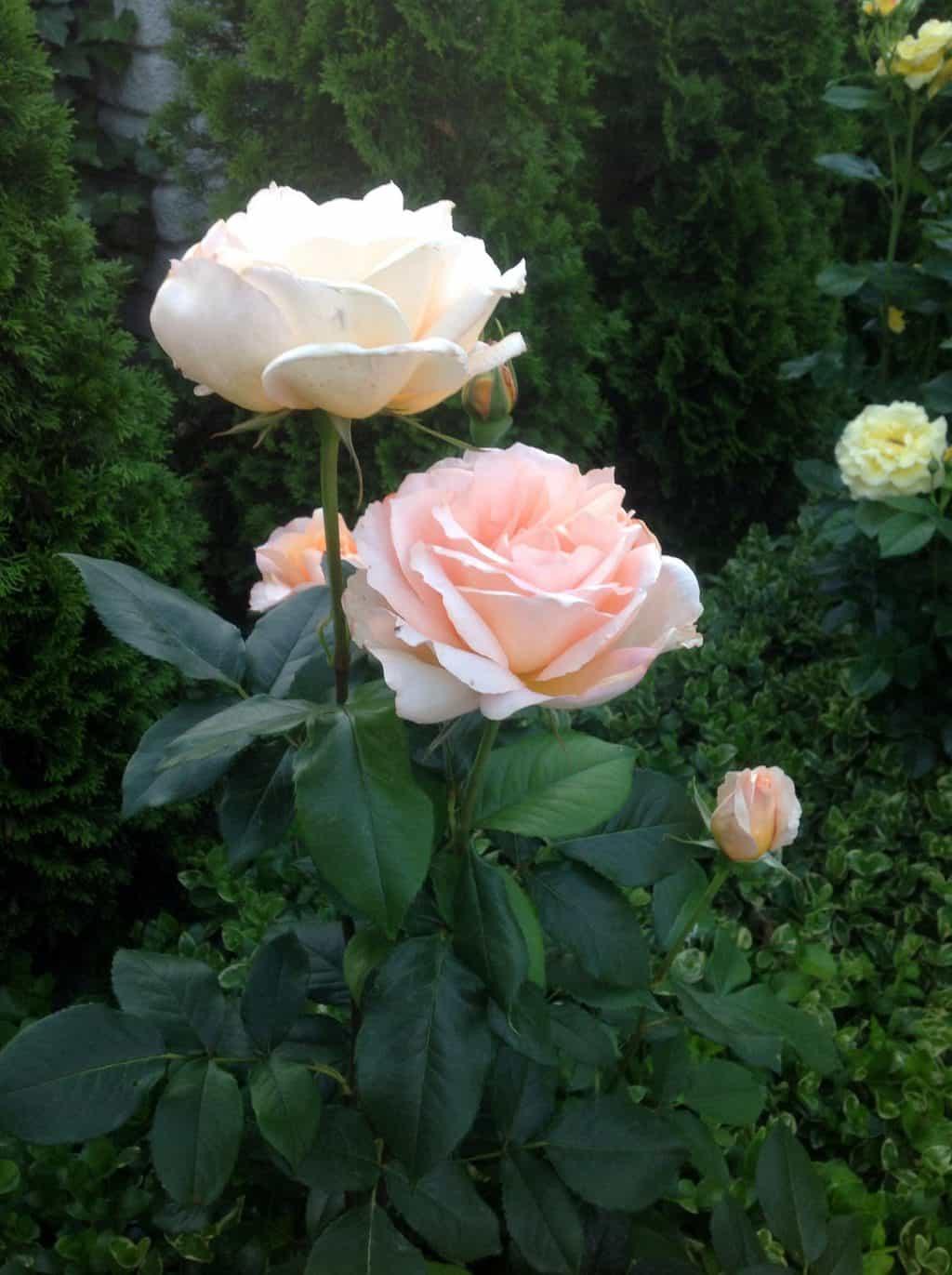 Okrywanie róż przed zimą