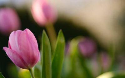 Sadzenie i uprawa tulipanów