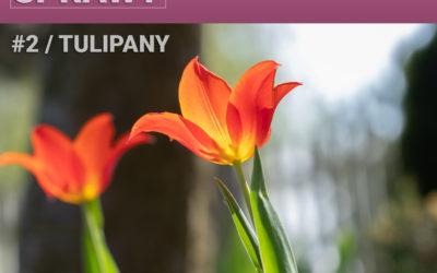 02 – Tulipany