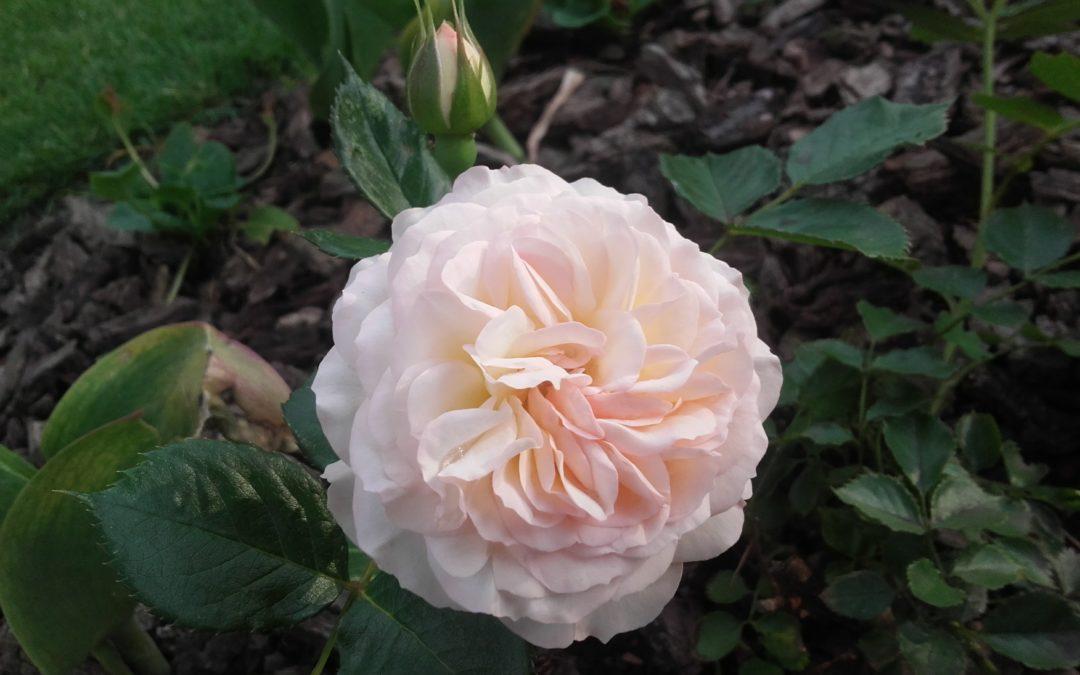 10 najlepszych róż, do Twojego ogrodu